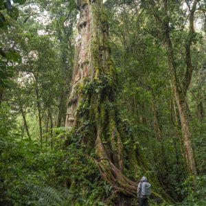 Big Tree in Boquete